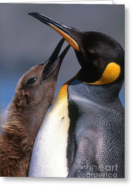 King Penguin With Chick Greeting Card