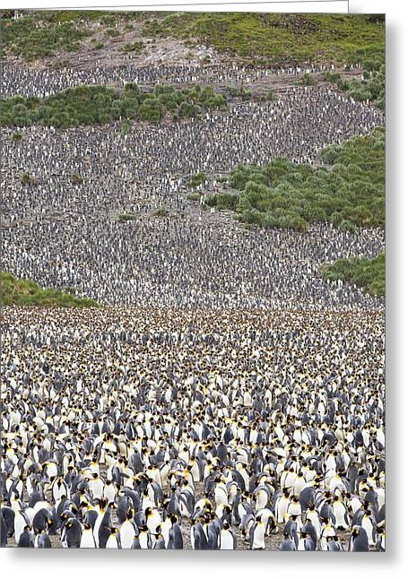 King Penguins On Salisbury Plain Greeting Card