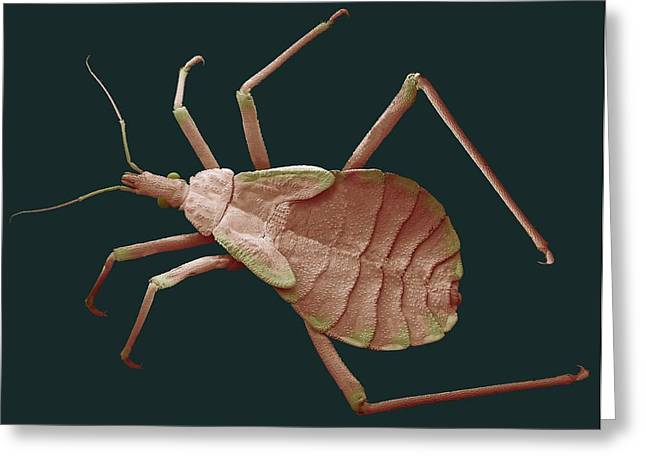 Kissing Bug Nymph Greeting Card by Steve Gschmeissner