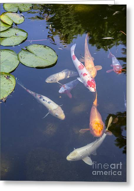 Koi And Lily Pads - Beautiful Koi Fish And Lily Pads In A Garden. Greeting Card