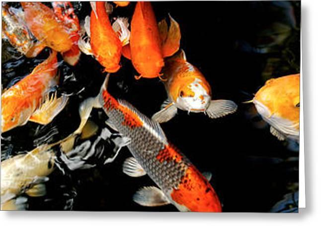 Koi Carp Swimming Underwater Greeting Card by Panoramic Images