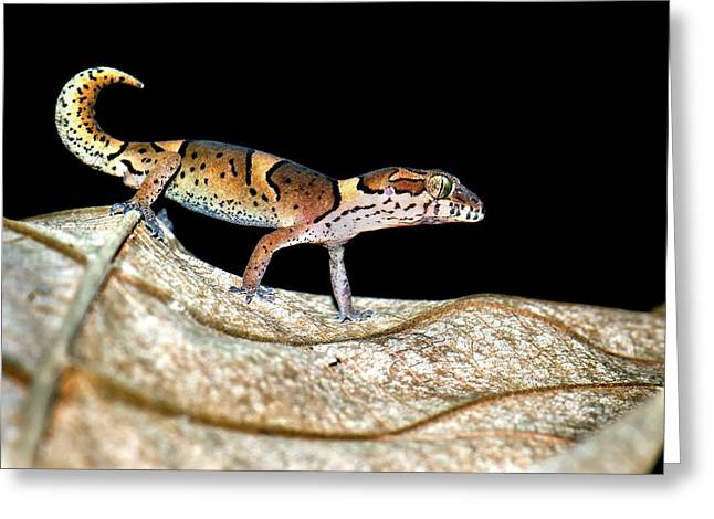 Kollegal Ground Gecko Greeting Card