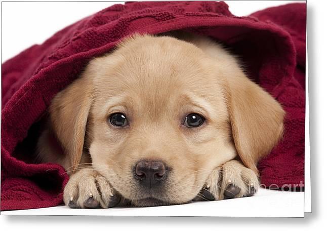 Labrador Puppy In Towel Greeting Card