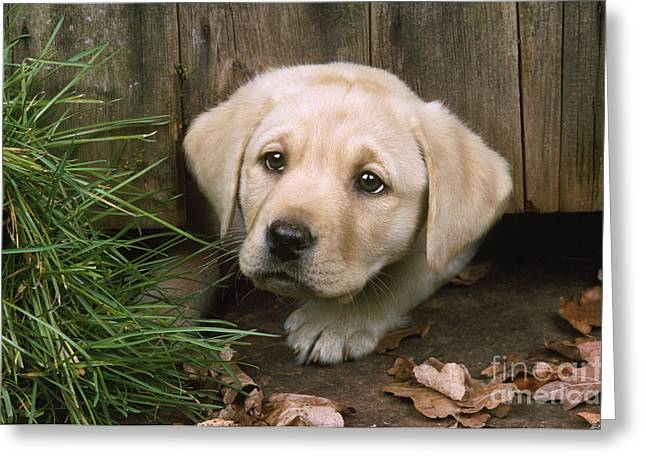 Labrador Puppy Greeting Card by John Daniels
