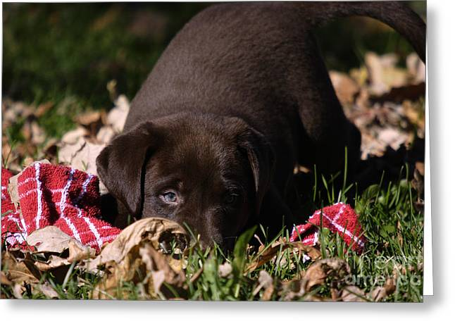 Labrador Puppy Greeting Card by Linda Freshwaters Arndt