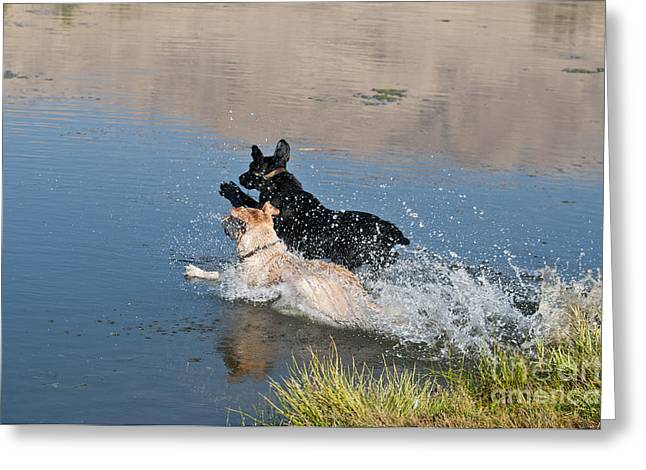 Labrador Retrievers In Pond Greeting Card