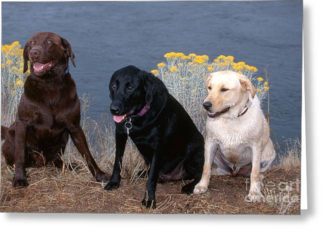 Labrador Retrievers Greeting Card by William H. Mullins