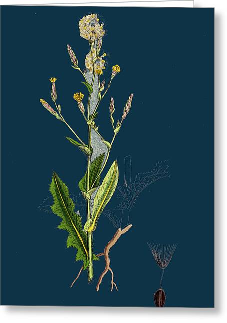 Lactuca Scariola Prickly Lettuce Greeting Card