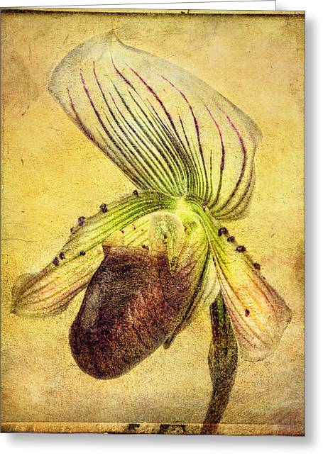 Lady Slipper Orchid Greeting Card by Robert Jensen