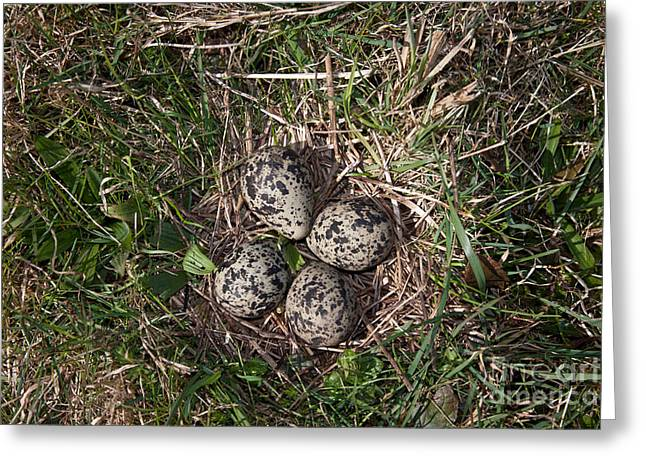 Lapwing Nest Greeting Card