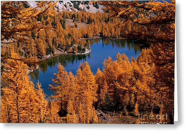 Larch Trees Around Cooney Lake Greeting Card by Tracy Knauer