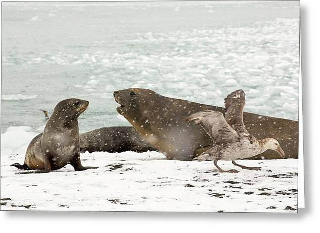 Large Bull Southern Elephant Seal Greeting Card by Ashley Cooper