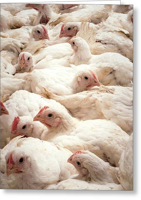 Large Number Of Hens In A Barn Greeting Card by Aberration Films Ltd