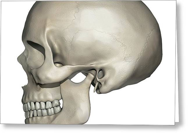 Lateral View Of Human Skull Anatomy Greeting Card