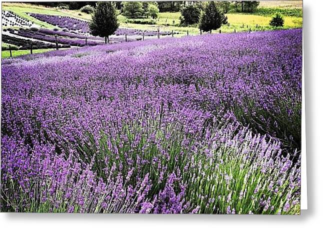 Lavender Farm Landscape Greeting Card