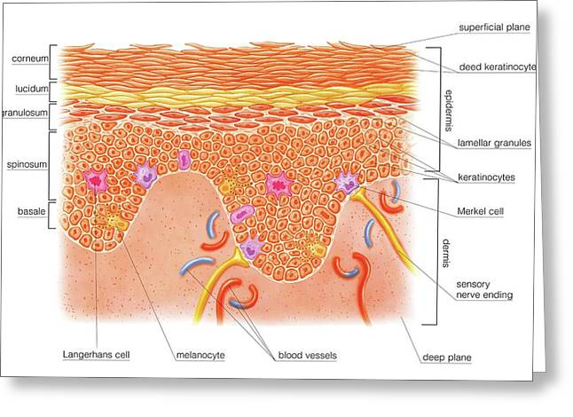 Layers And Cells Of Epidermis Greeting Card by Asklepios Medical Atlas
