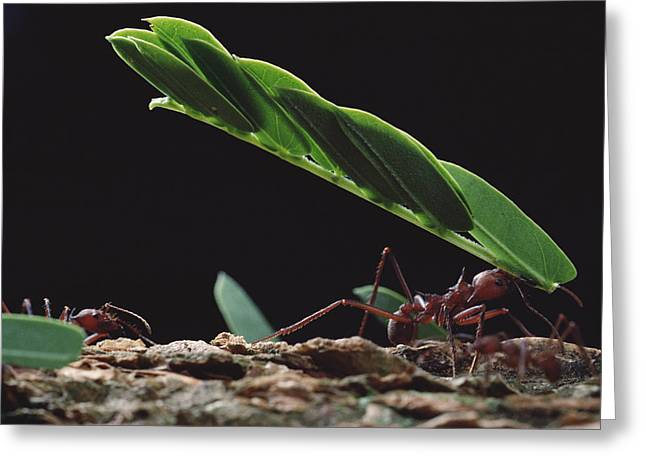 Leafcutter Ants Carrying Leaves Barro Greeting Card