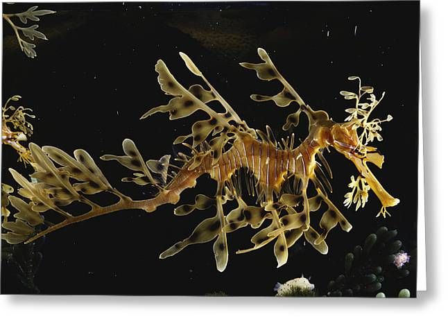 Leafy Sea Dragon Greeting Card