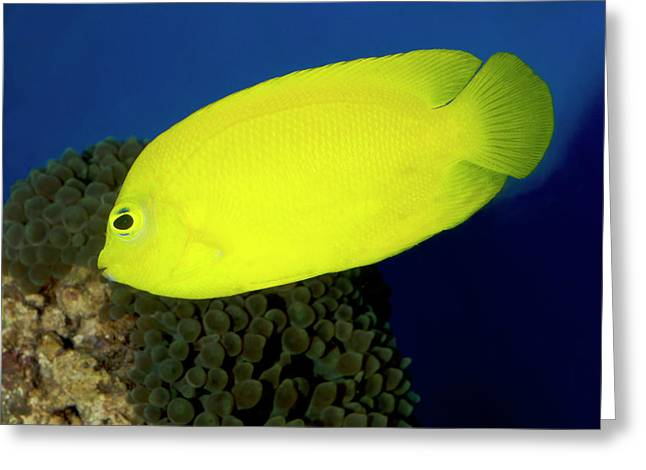 Lemonpeel Angelfish Greeting Card