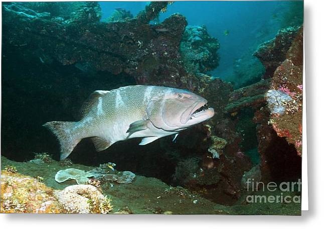 Leopard Coral Grouper Greeting Card by Georgette Douwma