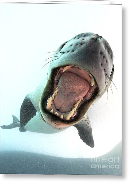 Leopard Seal Mouthing Its Own Greeting Card by Steve Jones