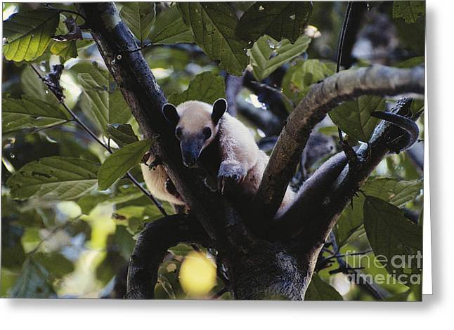 Lesser Anteater Greeting Card by Gregory G. Dimijian, M.D.