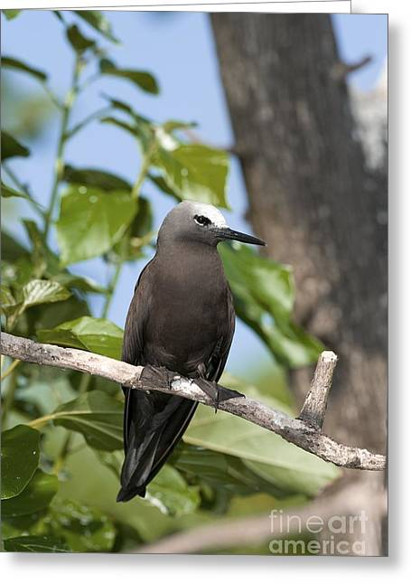 Lesser Noddy In A Tree Greeting Card by Tony Camacho
