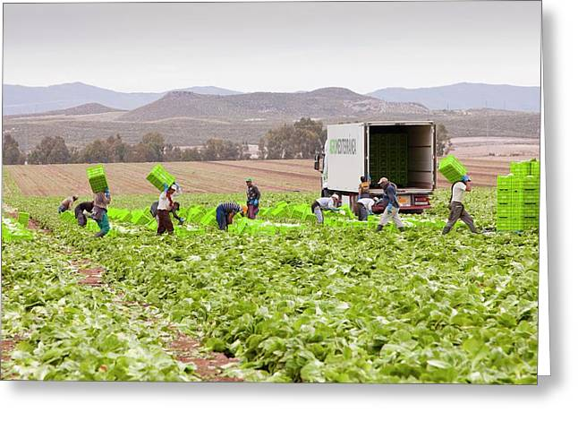 Lettuce Crops Being Harvested Greeting Card by Ashley Cooper