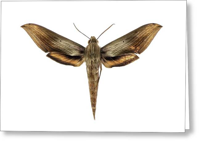 Libya Sphinx Moth Greeting Card by F. Martinez Clavel
