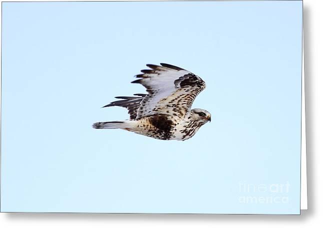 Light Morph Rough-legged Hawk Greeting Card by Lori Tordsen