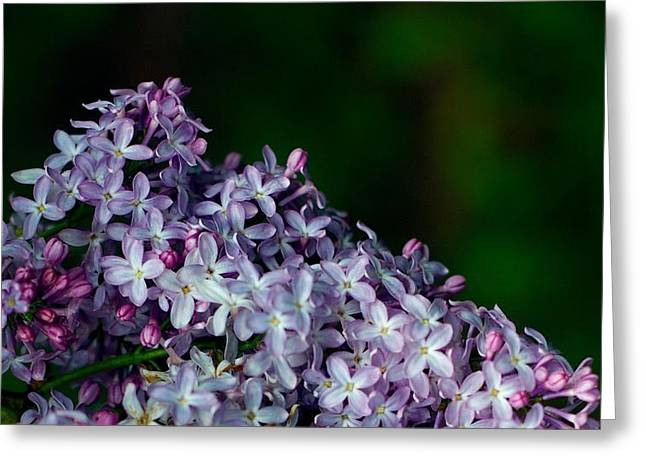 Lilac 4 Greeting Card