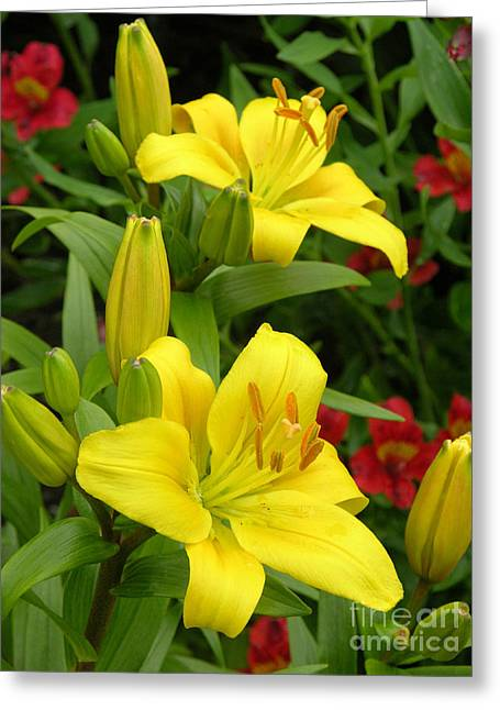 Lilies Lilium Limelight Greeting Card by Tony Craddock