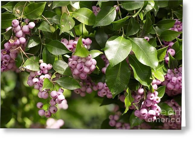 Lilli-pilli Berries Acmena Smithii Greeting Card by Bob Gibbons