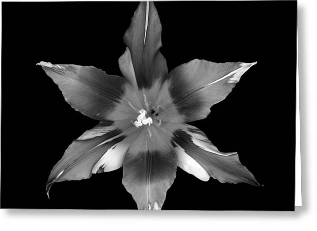 Lily Tulip Greeting Card by Oscar Gutierrez