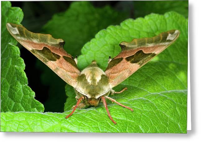Lime Hawk-moth Greeting Card