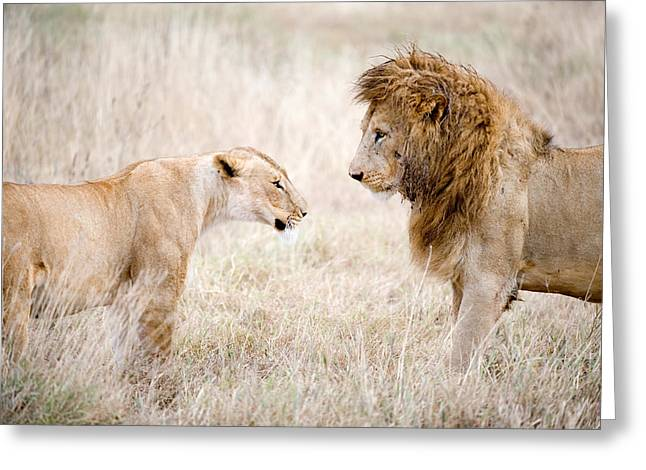 Lion And A Lioness Panthera Leo Greeting Card