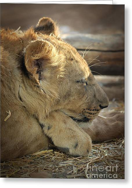 Lion Cub Dozing In The Sun Greeting Card