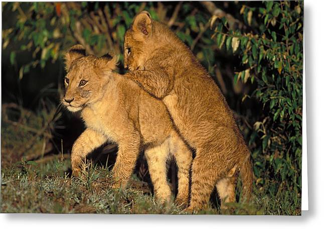 Lion Cubs Playing Greeting Card by Jean-Michel Labat
