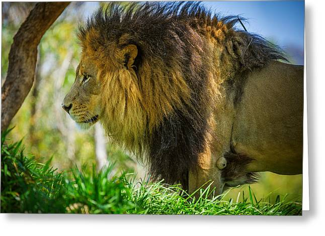 Lion Greeting Card by Matthew Onheiber
