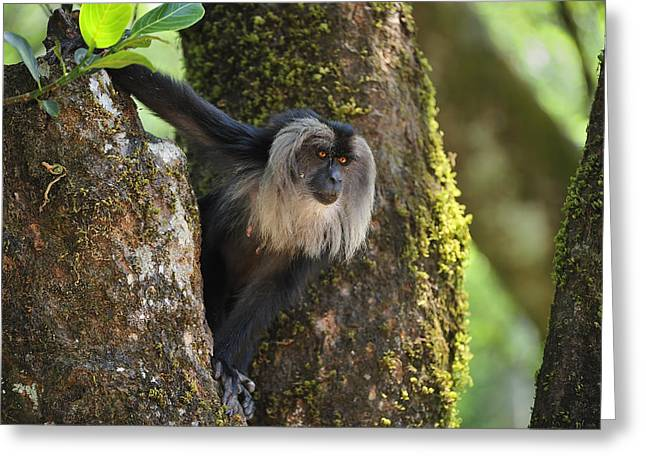 Lion-tailed Macaque In Tree India Greeting Card