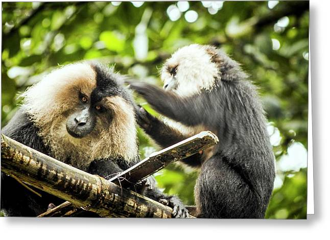 Lion-tailed Macaques Greeting Card by Paul Williams
