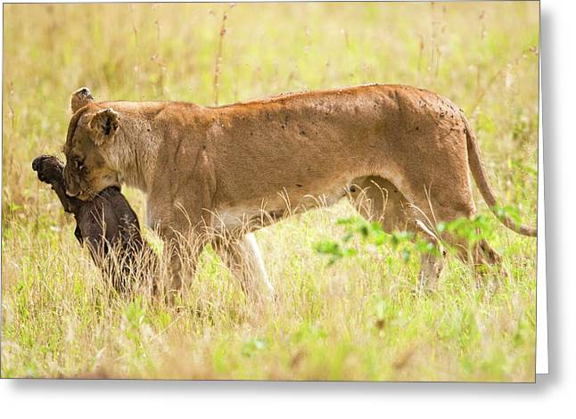 Lioness Panthera Leo Greeting Card by Photostock-israel