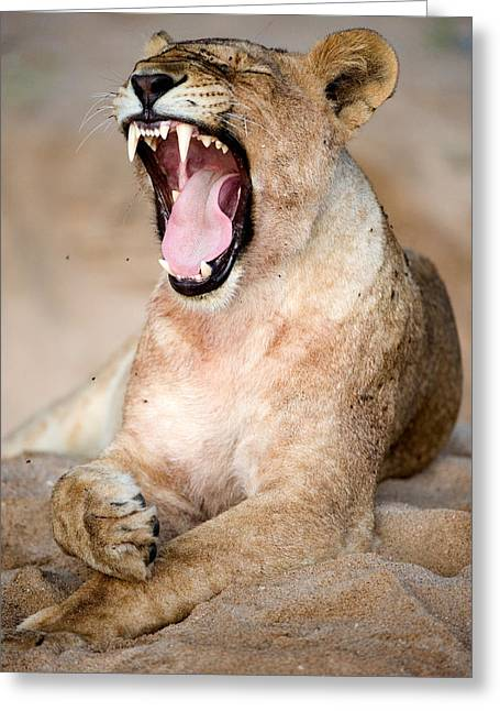 Lioness Panthera Leo Yawning Greeting Card by Panoramic Images