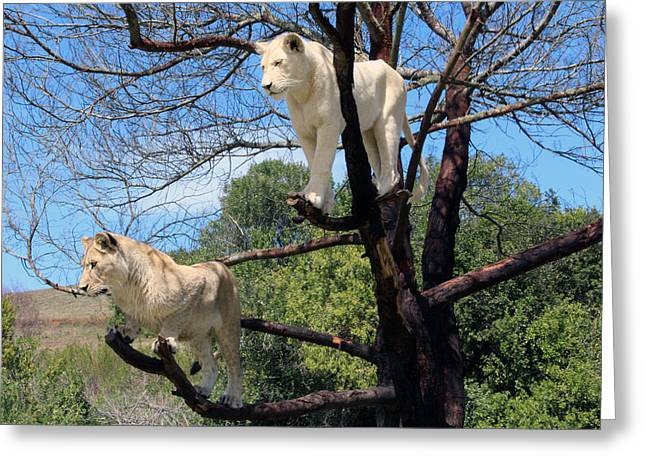 Lions In A Tree Greeting Card by Chris Whittle