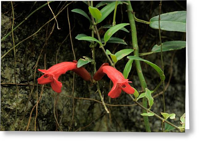 Lipstick Plant Flowers Greeting Card