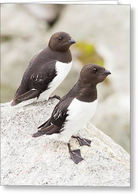 Little Auks Or Dovekie (alle Alle) Greeting Card by Ashley Cooper