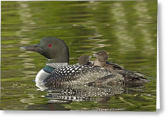 Loon Parent With Two Chicks Greeting Card