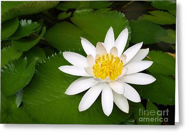 Lotus Greeting Card by Alina Satir