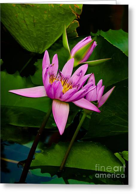 Lotus Greeting Card by Angela Wright