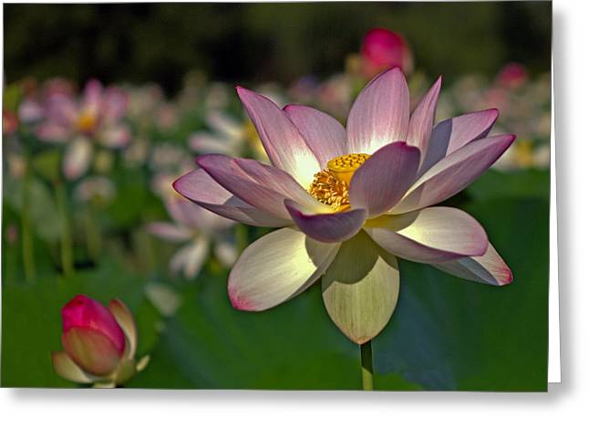 Greeting Card featuring the photograph Lotus Flower by Jerry Gammon